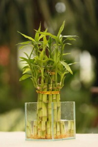 Bambu da Sorte 6