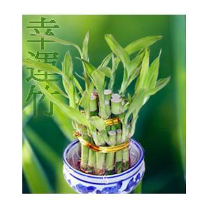 Bambu da Sorte 5