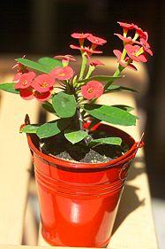 187px-Euphorbia_milii